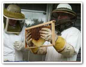 removal of bees